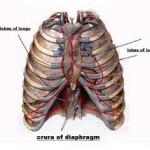 Random image: rib-cage